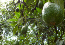 aguacate medio ambiente