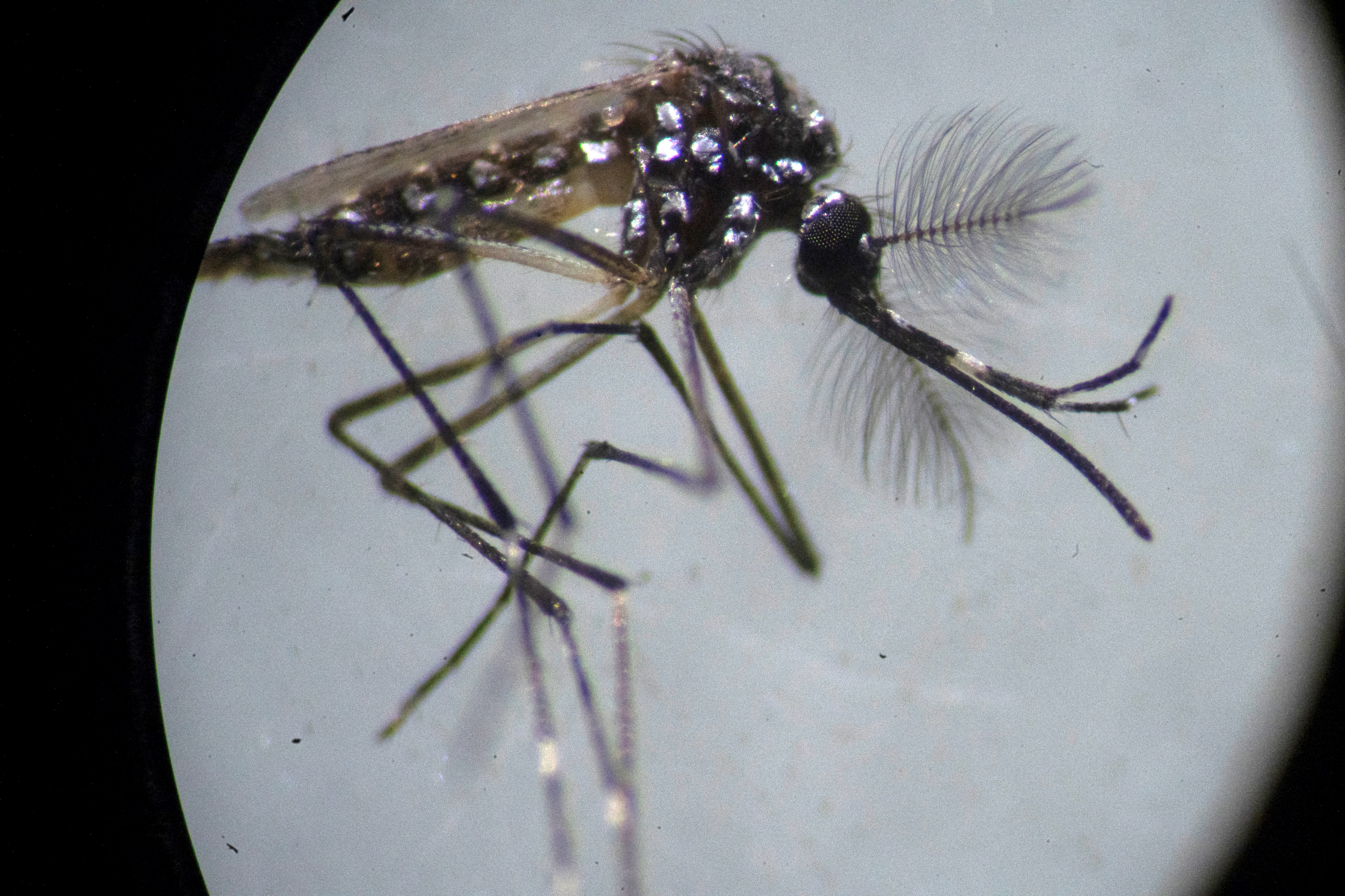 dengue transmisión sexual